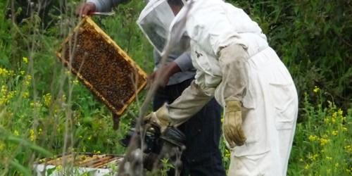 apicultura-6